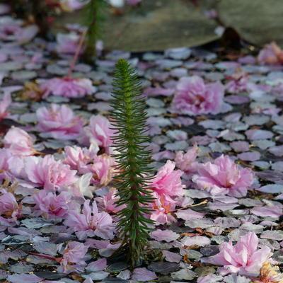 Blütenteppich auf Teich