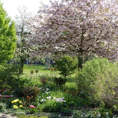 Garten mit blühender Zierkirsche